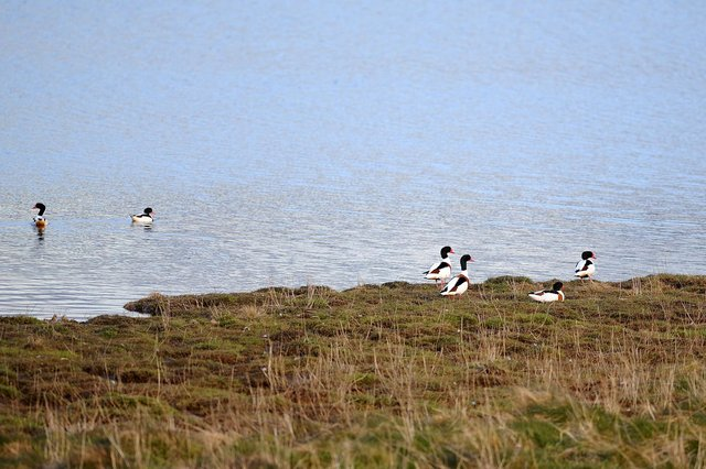 Kinneil Lagoons - the most important waterbird high tide roost within the Inner Forth (Pic Michael Gillen)