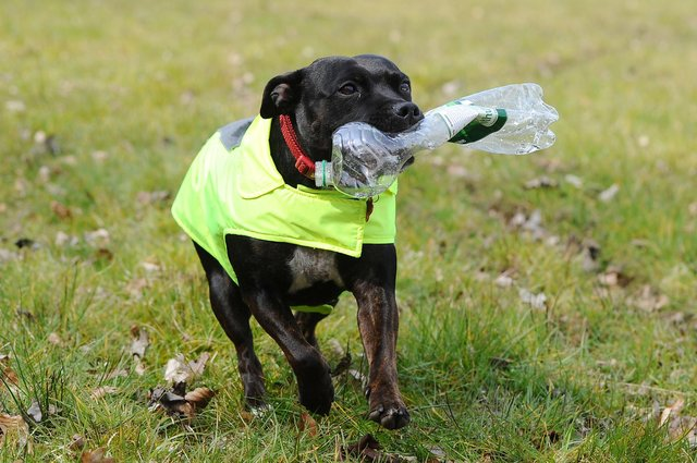 Staffordshire cross dog Lexi have become well-known for clearing up litter in Tamfourhill. Picture: Michael Gillen.