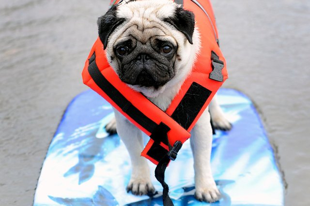 The pug from Grangemouth washed ashore in Culross