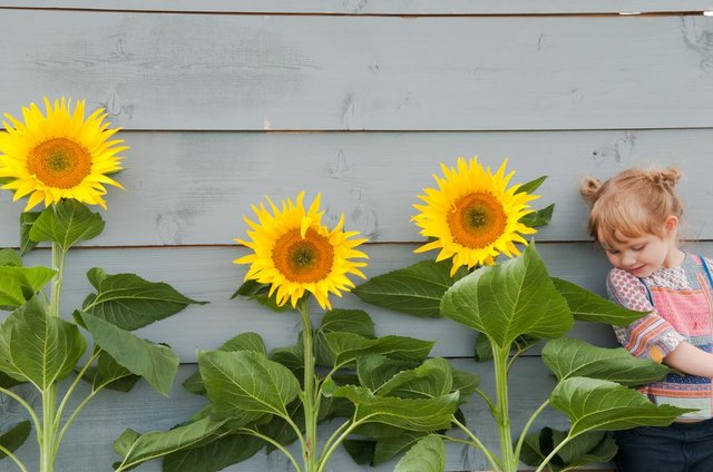 The sunflower growing competition will be judged on September 4.