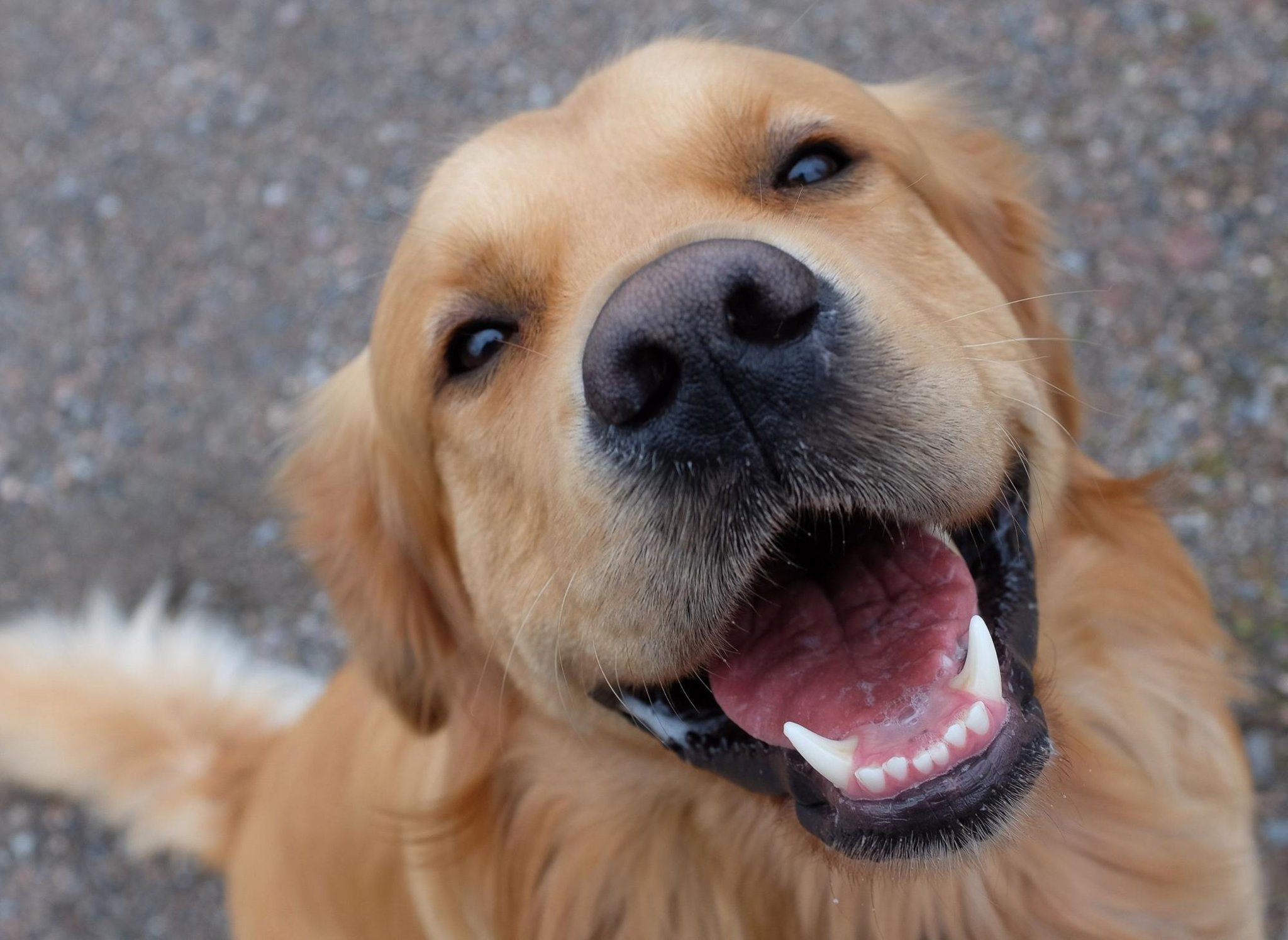 These are 10 fun and interesting dog facts about adorable Golden Retrievers