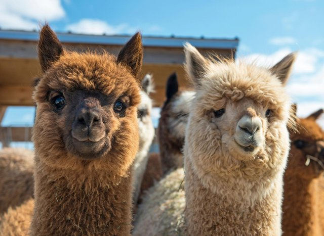 Here are 11 places you can enjoy trekking with adorable alpacas.